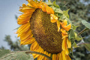 Sunflower ready to be harvested for seeds