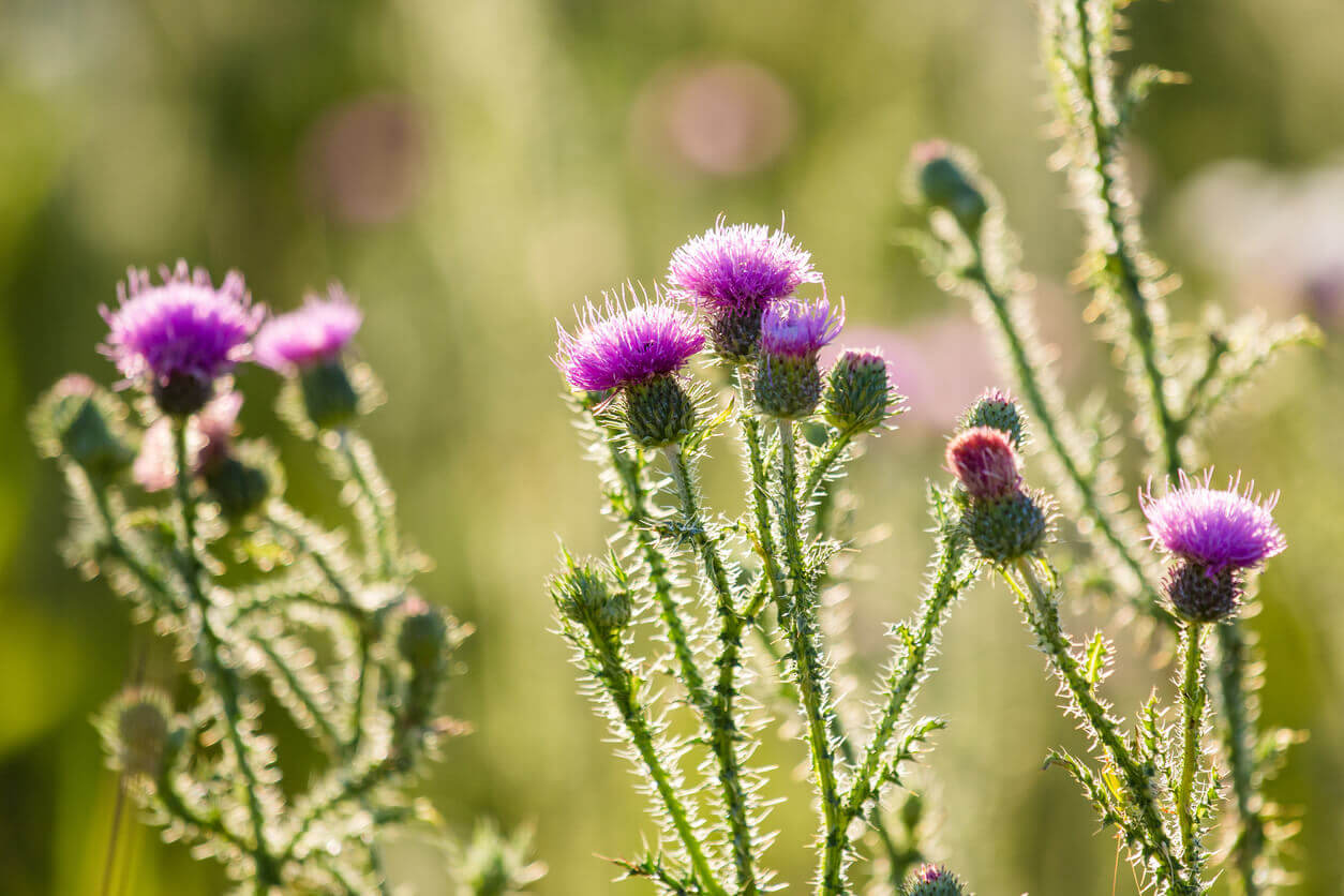 summer photo with backlit thistle