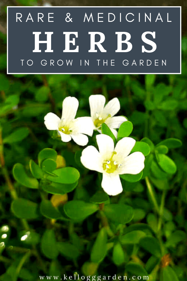 upclose white herb