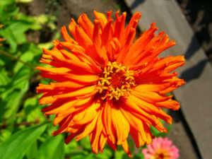orange cactus zinnia