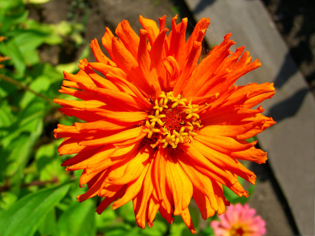 orange cactus zinnia