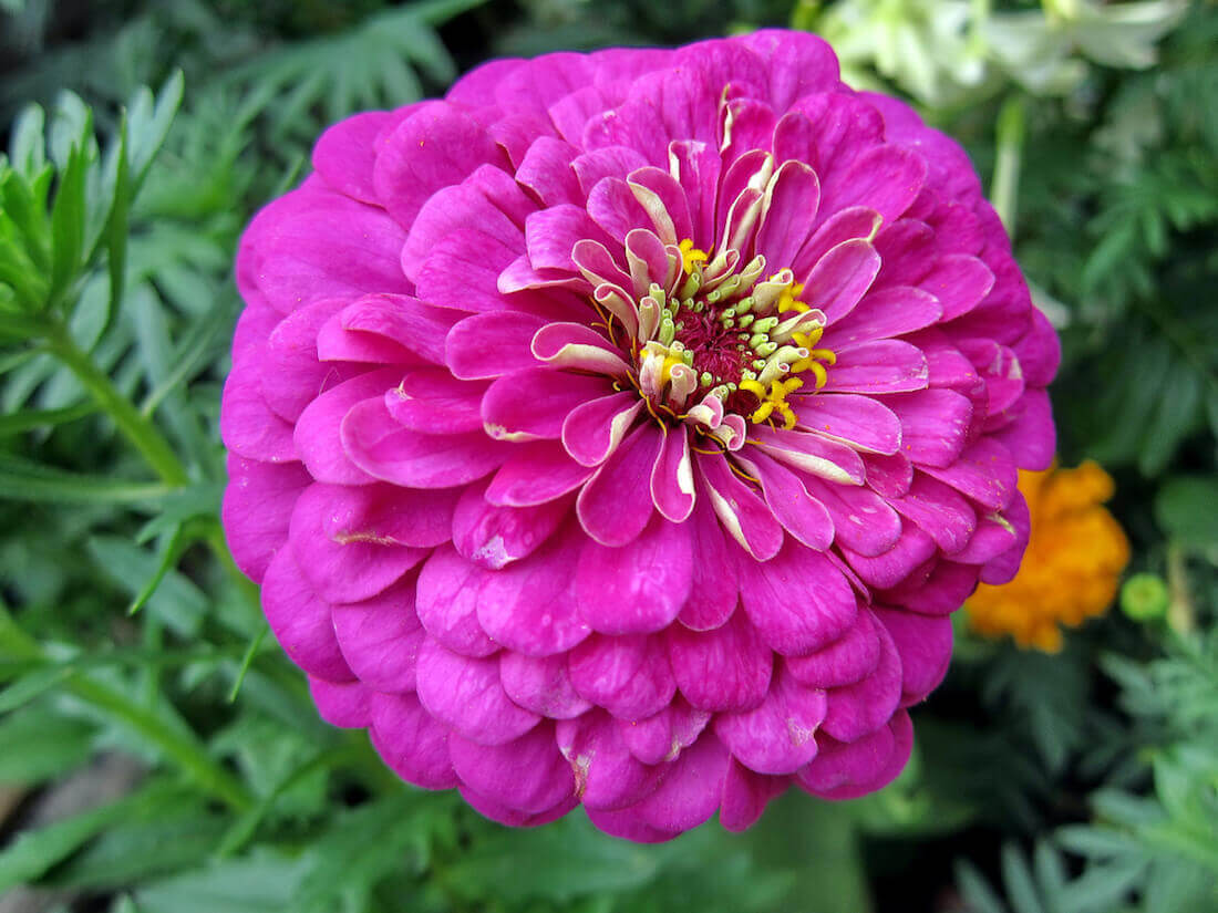 dahlia flowered zinnia