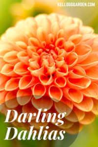 "Orange dahlia with text, ""Daring Dahlias"""