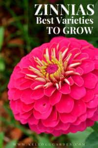 "Large pink zinnias with text, ""Zinnias, best varieties to grow"""