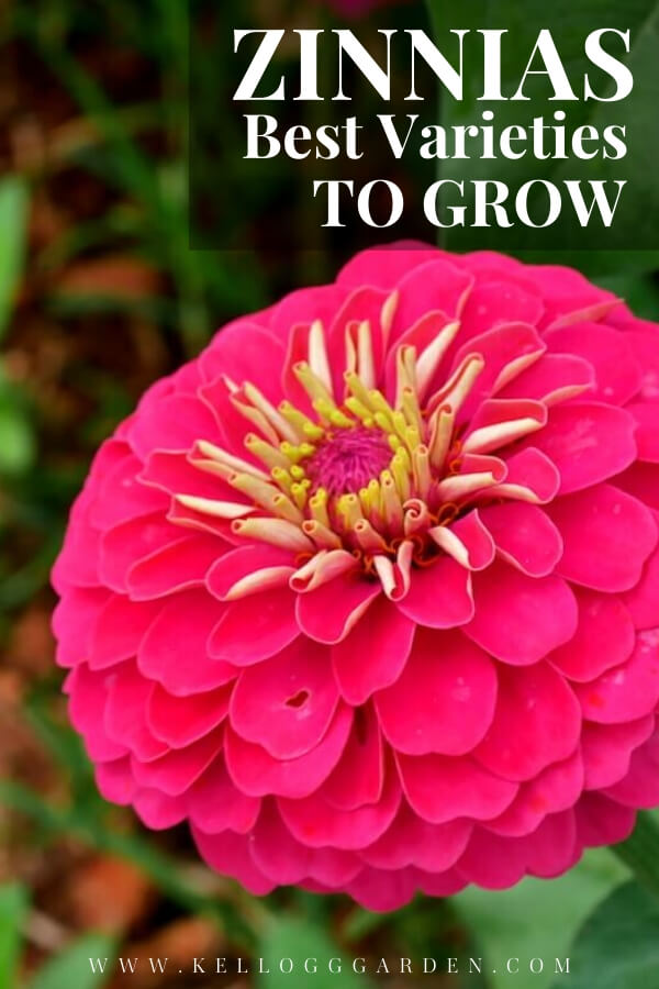 "Large pink zinnias with text, ""Zinnias, best varieties to grow"""