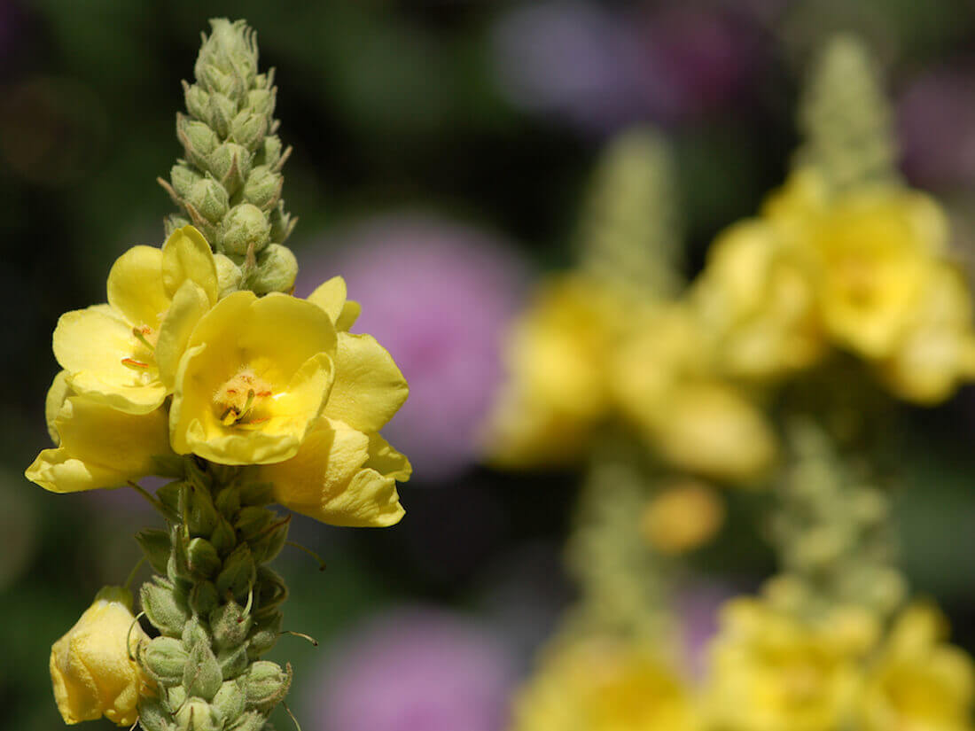 mulein medicinal herb