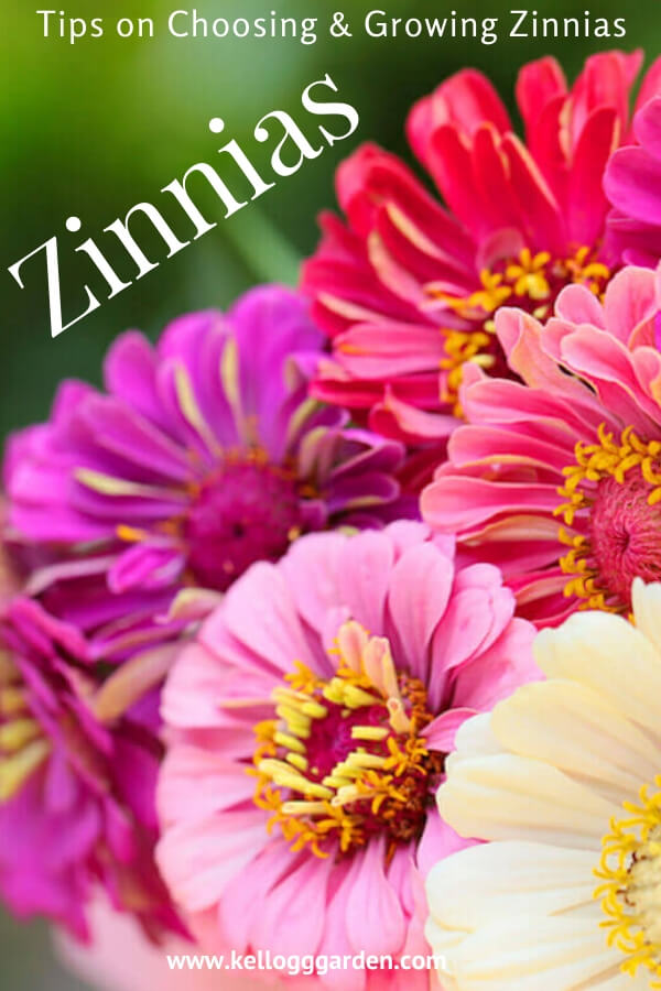 "Bouquet of zinnias with text, ""Tips on choosing and growing zinnias"""