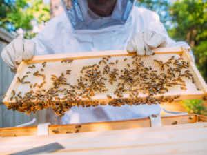 beekeeper inspecting the beehive