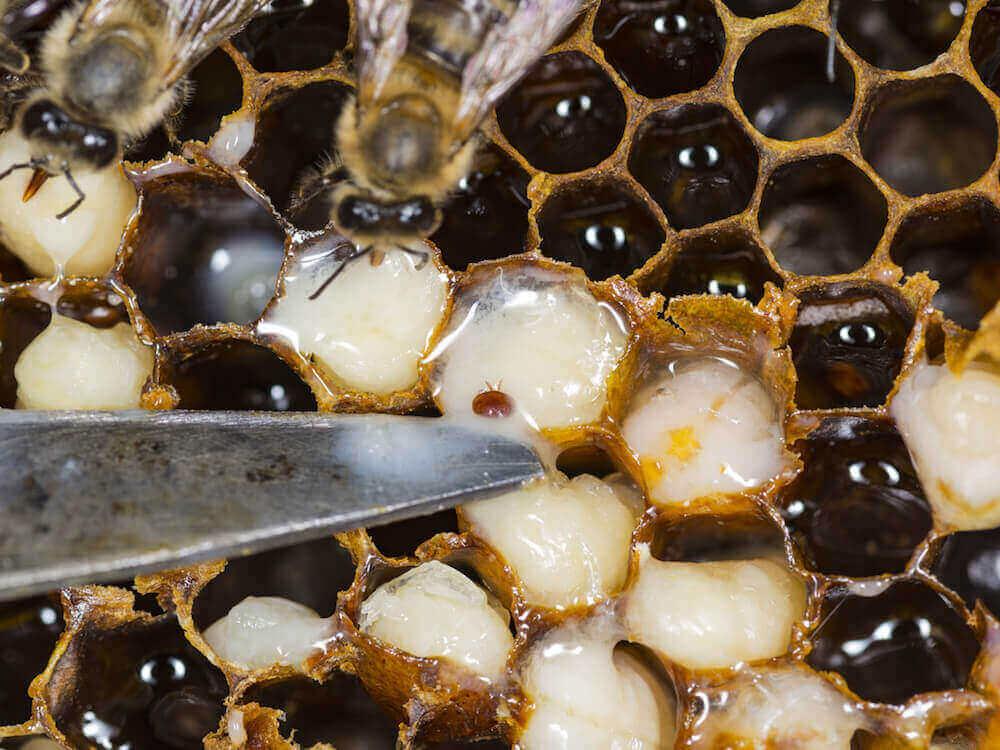 beehive mites