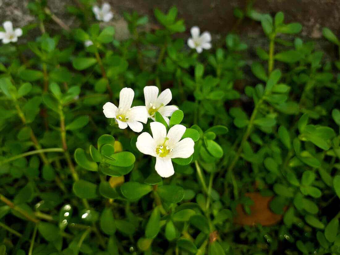 Brahmi medicinal herb