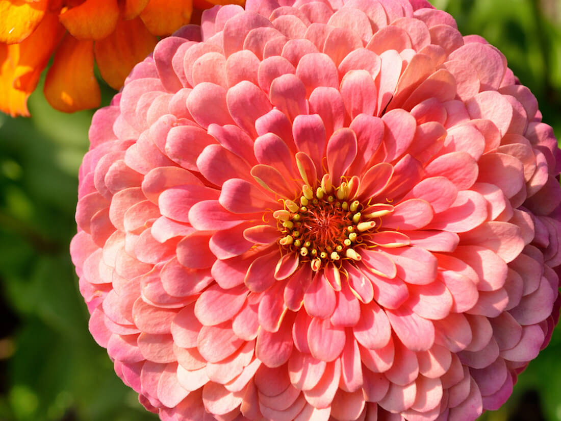 Giant salmon rose zinnia