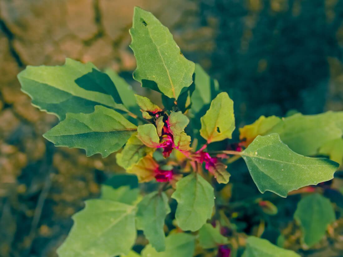 epazote medicinal herb