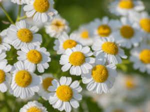 feverfew medicinal herb