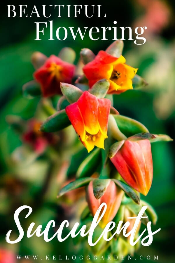 "Flowering succulent macro with text, ""Beautiful flowering succulents"""
