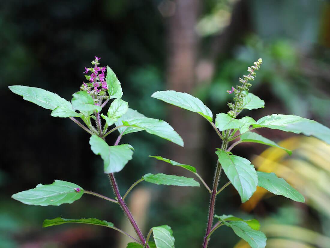 holy basil medicinal herb