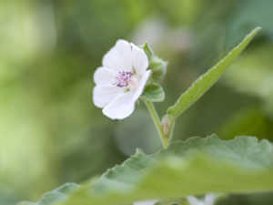 marshmallow medicinal herb