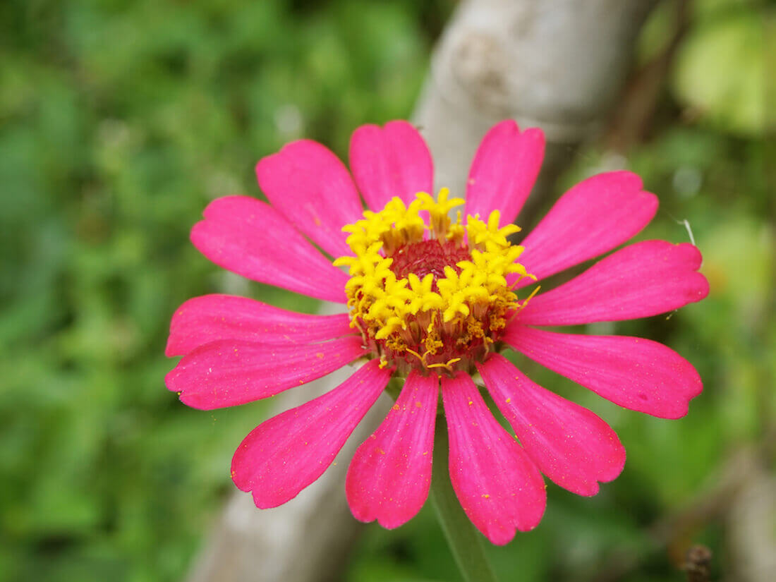 pink single flowered zinnia