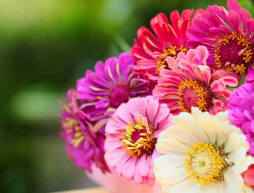 group of different zinnias