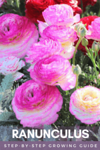 pink and red ranunculus