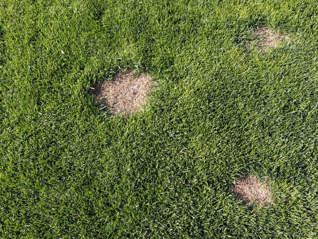 brown lawn spots