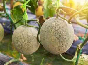 melon feature