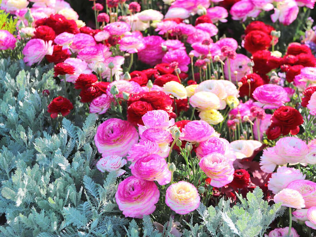 multi colored ranunculas