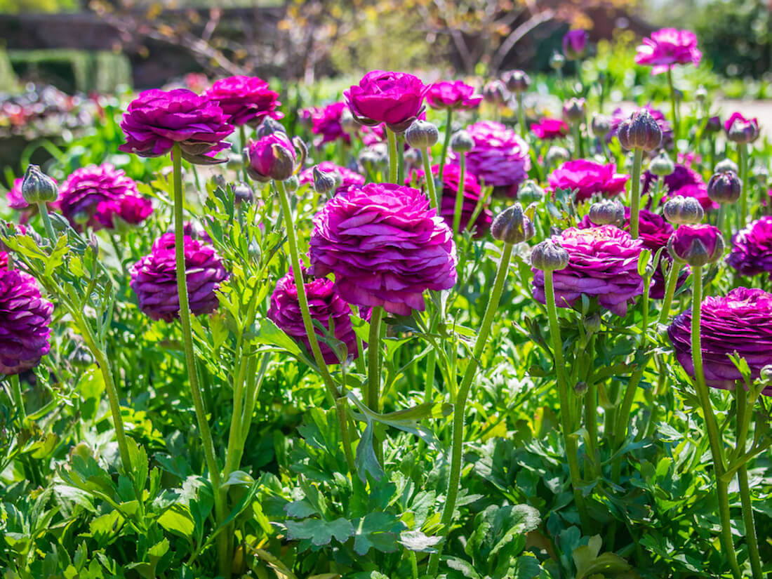 purple ranunculas