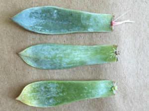 3 succulent leaves
