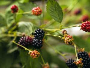 Thornless Blackberries