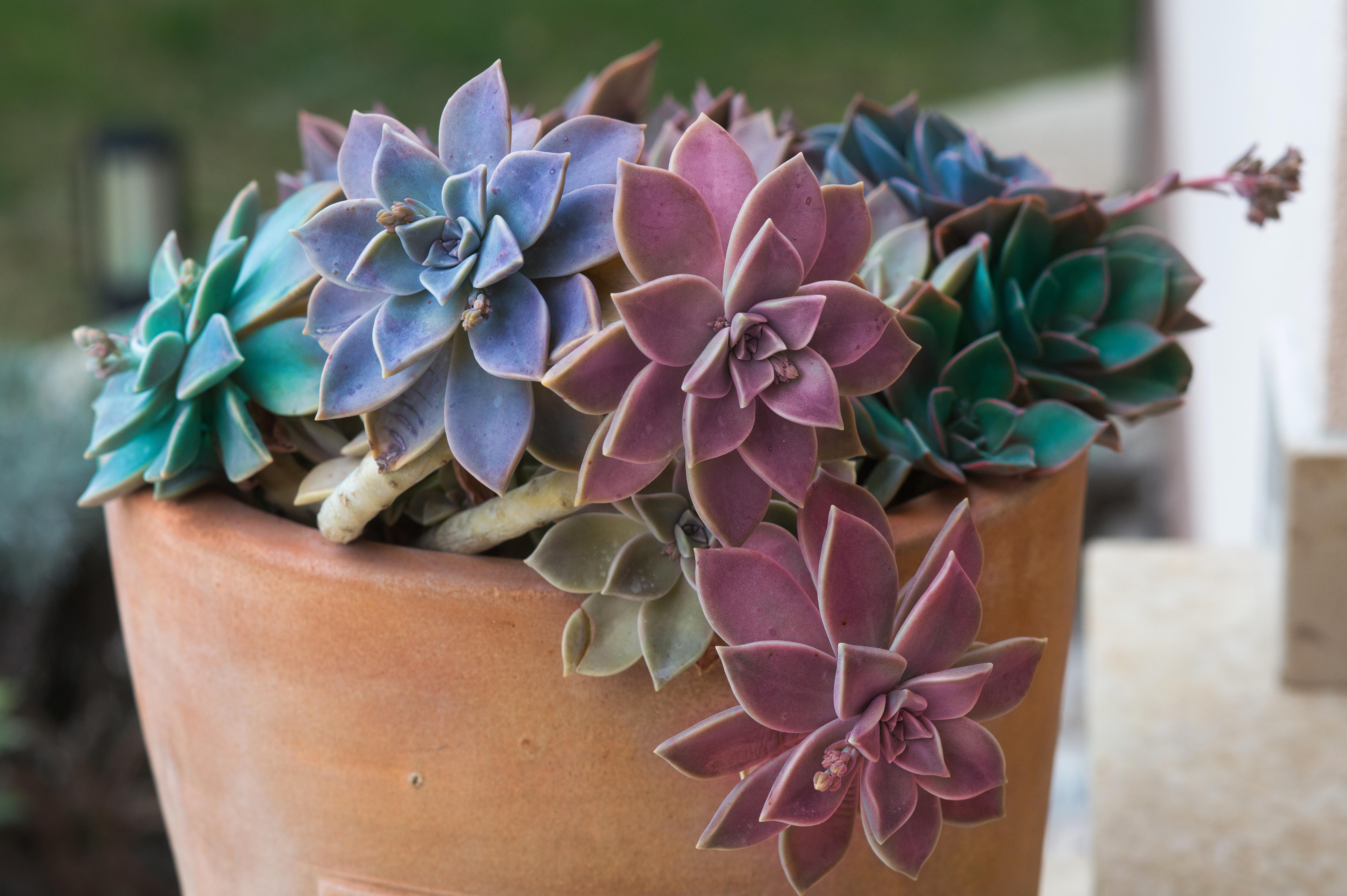 Multiple succulents in pot