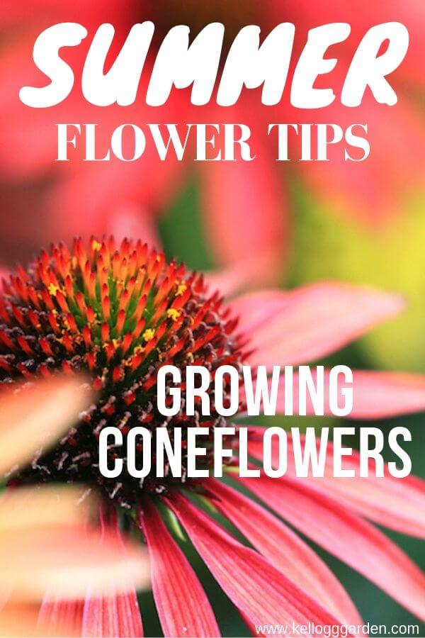 coneflower pinterest image