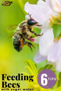 """Bee landing on a white flower with text, """"Feeding bees with sugar water, 6 tips"""""""