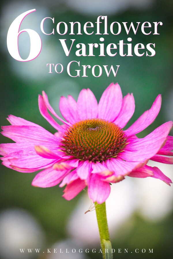 "Single pink coneflower with text, ""6 coneflower varieties to grow"""