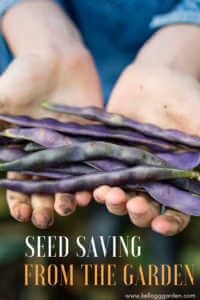 """Woman holding purple beans with text, """"Seeding Saving From the Garden"""""""