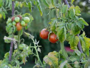 unhealthy tomato leaves