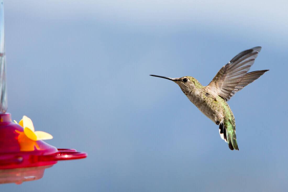 hummingbird feature