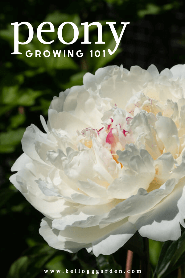 White peony with text
