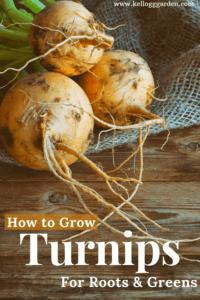 Turnips PI 2