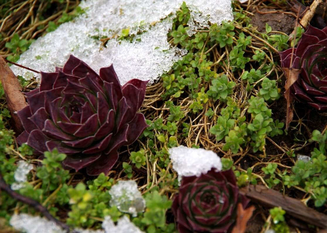 Green and red succulents with snow on them