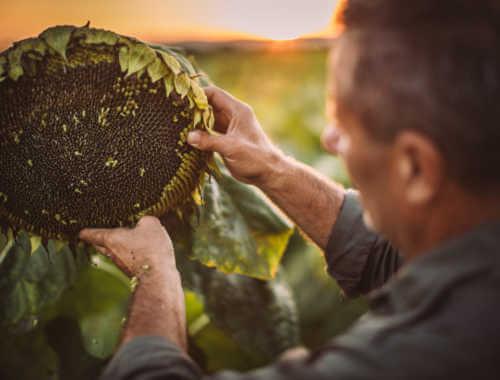 farmer sunflower