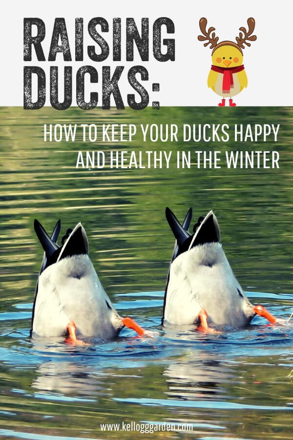 """Ducks in pond with text, 'Raising dues, how to keep ducks happy and healthy in the winter"""""""