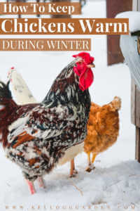 """Bright rooster and chicken in the snow with text on image, """"How to Keep Chickens Warm during winter"""""""