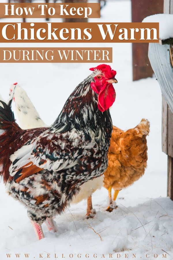"Bright rooster and chicken in the snow with text on image, ""How to Keep Chickens Warm during winter"""