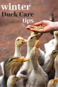 "Ducks eating with text, ""Winter duck care tips"""