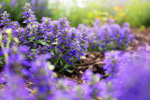 Purple Bugleweed Flower Bush