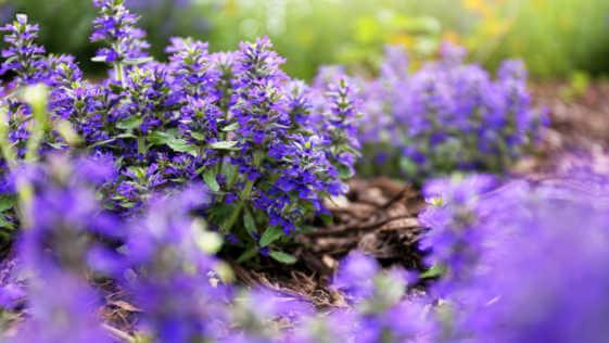 Purple Bugleweed Flower Bush
