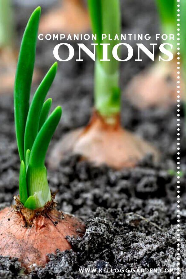 Companion Planting For Onions pinterest image