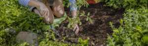 G&B Soil planting tomatoes in the garden