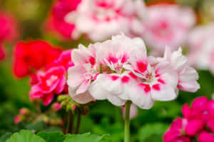Pink and white Geranium flowers