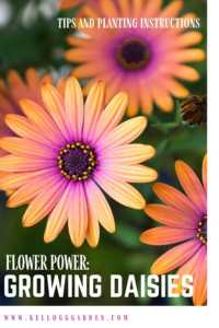Daisy growing tips pinterest image